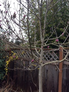 Forsythia  & Magnolia about to flower